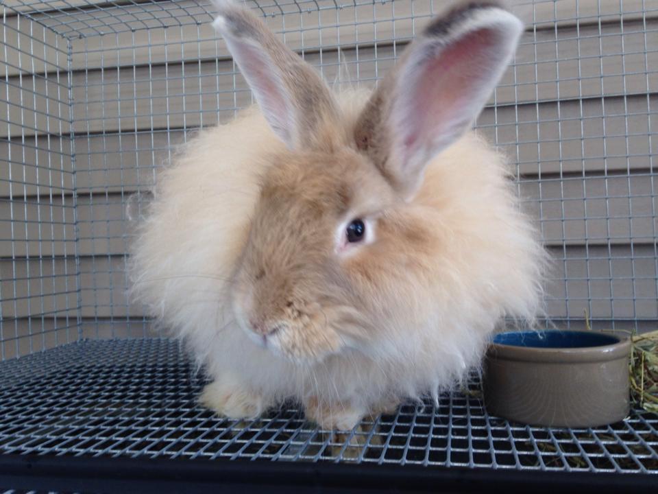 Cream French Angora Rabbit Buck