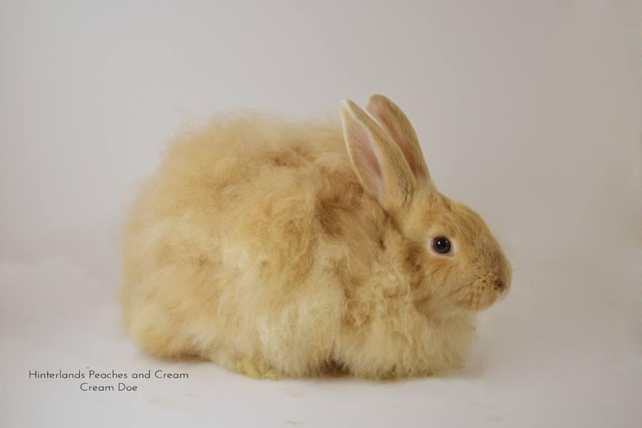 Cream French Angora Rabbit Doe