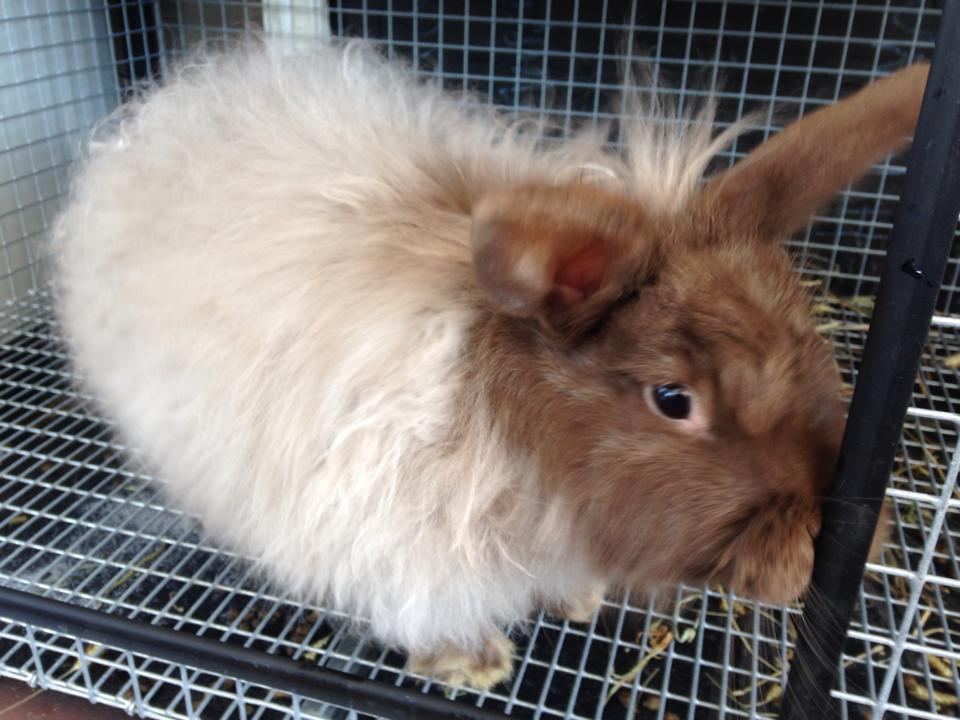 Chocolate French Angora Rabbit Doe